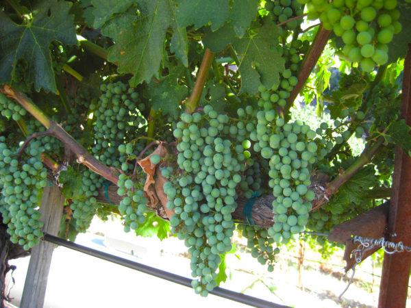 mueller family vineyards cabernet sauvignon grapes diamond mountain