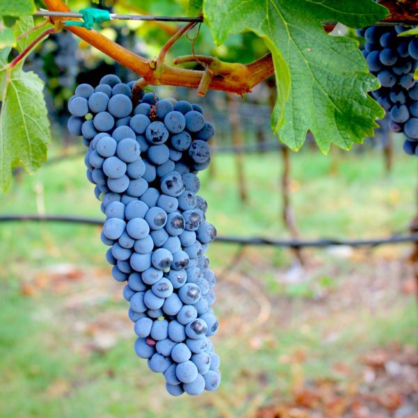 cabernet grape cluster